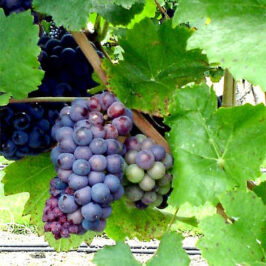 Sustainability of the Heart – Abiding in the Vine